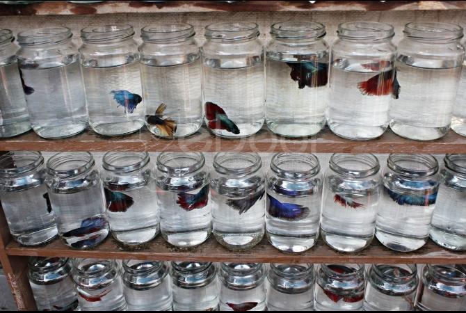 Berburu Ikan Hias Di Jatinegara