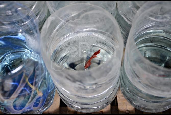 Pembudidaya Ikan Cupang Hias Di Jakarta Barat