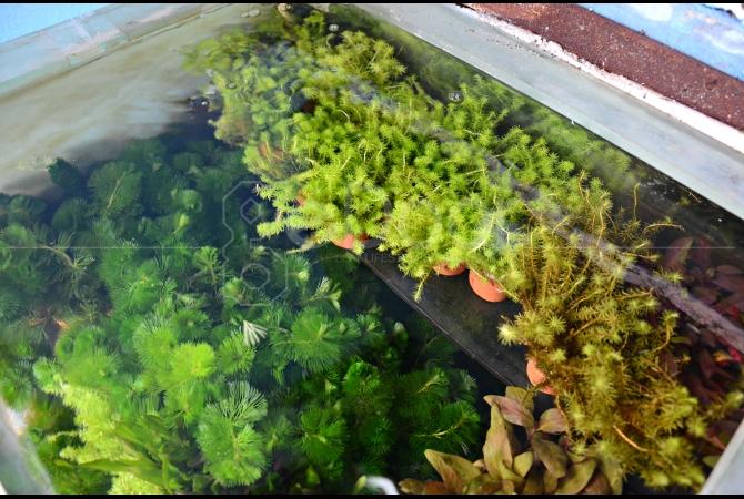 Tanaman air sebagai penghias akuarium juga dijual oleh salah satu pedagang di sini